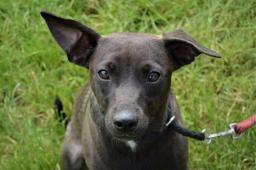 SURI - Pinč x - štěně fena
