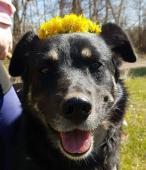 KENDY - Ovčák x Labrador - pes cca 5 let