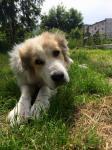 KEISSY - Pastevecký pes x - fena