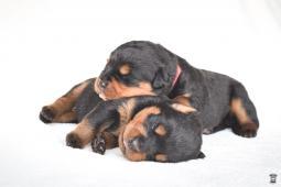 Štěňata rotvajlera s PP - Rottweiler štěňátka