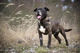 ENDY - Staford x kříženec 32 kg - kastrovaný pes