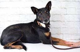 LIAM - Dobrman x kříženec 30 kg - kastrovaný pes 7