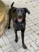FALCO - drobný kříženec labradora - pes 1 rok.