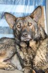 ASLAN - Německý ovčák - pes