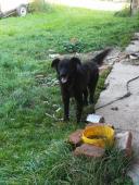 ČERTÍK - Labradorský x Bernský - pes 3 roky.