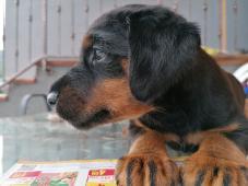 Jagdterrier šteniatko