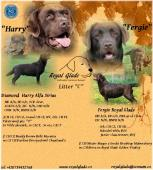 Labrador retriever - čokoládová štěňátka s PP