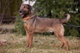 KIM - Německý ovčák x kříženec - pes 5-6 let.