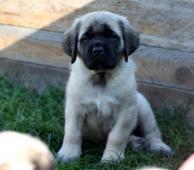 Anglicky mastif