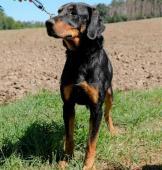 RENDY - Dobrman x kříženec - kastrovaný pes 3 roky
