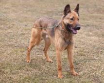 BASTI - Německý ovčák x - kastrovaný pes 10 let