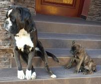boxer, psíky, krátky chvost