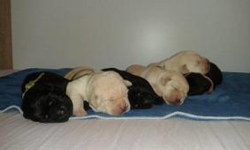 Labradorský  retriever- žlutá a černá  štěn. s PP