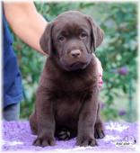 Labrador reriever - čokoládová holčička s PP