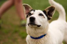 JANKO - Jack Russel teriér x - pes štěně 7 kg