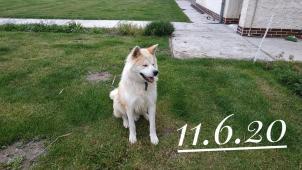 Nabízím krásného psa japonské akity ke krytí