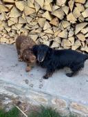 ARYA a MATT - Jezevčík x - fena a pes