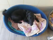 ARGO - Labrador x - pes