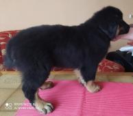 Štěnátko tibetského doga BEZ PP.