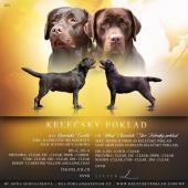 Labrador retriever čokoládová s PP(pejsek)