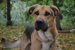 SCOOBY - Ovčák x Doga - pes 3 roky