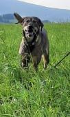 BENÍK - kříženec - kastrovaný pes 2 roky