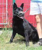 BUBÁK - Německý ovčák x - pes 8 let