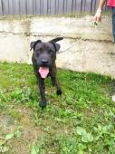 COOPER - Bull x - pes 20 měsíců