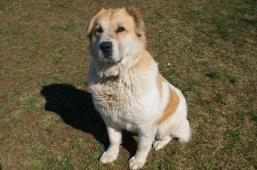 NATÁLKA - Pastevecký pes x - kříženec - fena 7 let