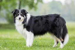 Krytí chovným psem BOC