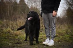 ARNY - Hovawart x kříženec 42 kg - pes 5 let