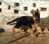 Německý ovčák-štěně s PP
