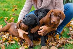 Predám šteniatka labradorov