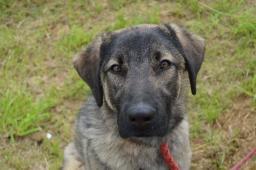 KAZAN - Kavkazský pes x - štěně
