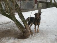 KAZAN - Německý ovčák x - pes