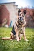 BRED - Německý ovčák 41 kg - kastrovaný pes 9 let