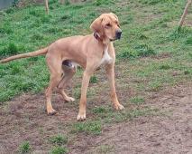 MUTZI - Německá doga - kastrovaný pes 1 rok.