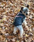 JACK - Jorkšírský teriér - kastrovaný pes 13 let