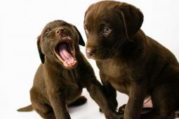 Labrador čokoládový ,čierny šteniatka