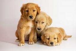 Golden retriever šteniatka