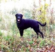 Curly coated retriever - dospělý pes s PP
