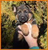 Německý ovčák - štěně fenka