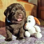 Labrador retriever čokoládové šteniatka s PP