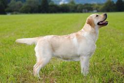 LABRADORSKÝ RETRÍVR- žlutá štěnátka s PP