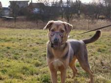 BEN III. - kříženec - kastrovaný pes cca 1,5 roku