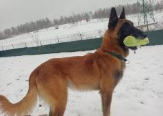 AJAX - Belgický ovčák malinois - pes 8 let