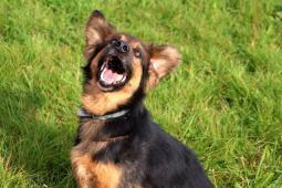 BRET - kříženec cca 15 kg - kastrovaný pes 12 let