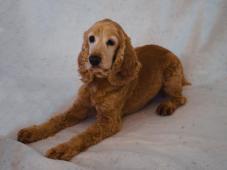 DINO - Kokršpaněl 13 kg - kastrovaný pes 13 let
