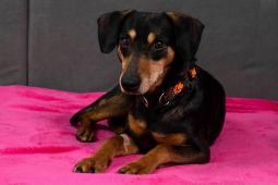 DANEČEK - kříženec 10 kg - kastrovaný pes 10 let