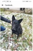 Nechtěný 11 letý německý ovčák Rex - pes.